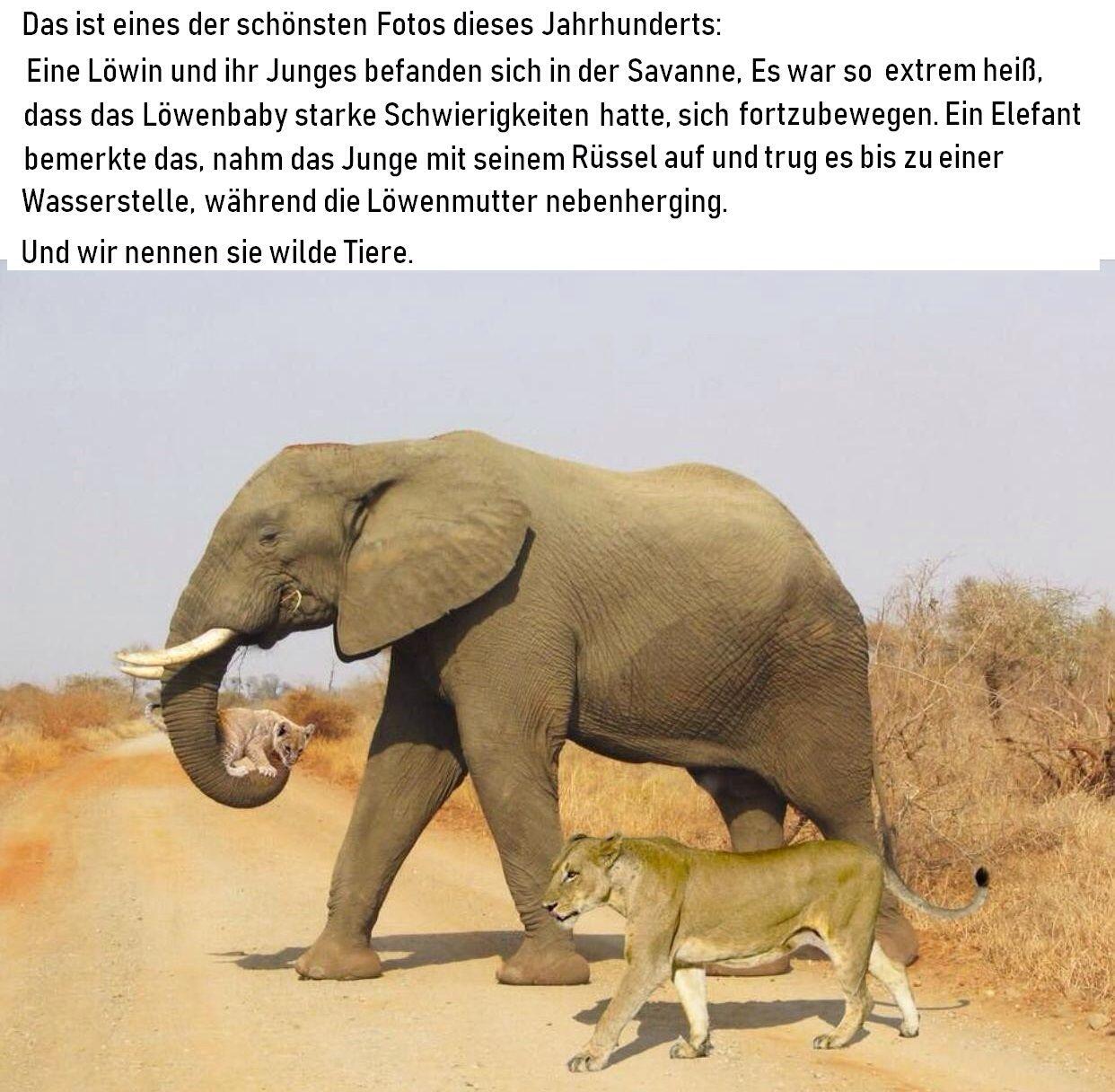 Einer der schönsten Fotos diesen Jahrhunderts: Eine Löwin und ihr Junges bekommen Hilfe von einem Elefanten.