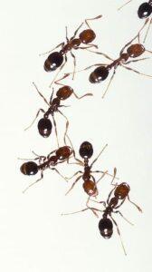 Hausmittel gegen Ameisen im Haus, Ameisenpfad und Ameisenstrasse los werden